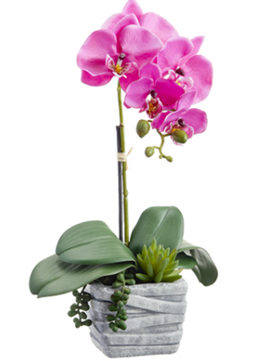 """Phalaenopsis Orchid Plant/Succulent in Cement Pot 16"""""""