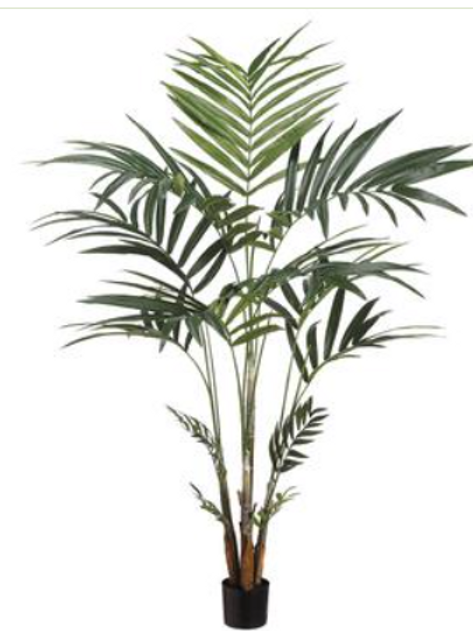 Kentia Palm 6' in Pot