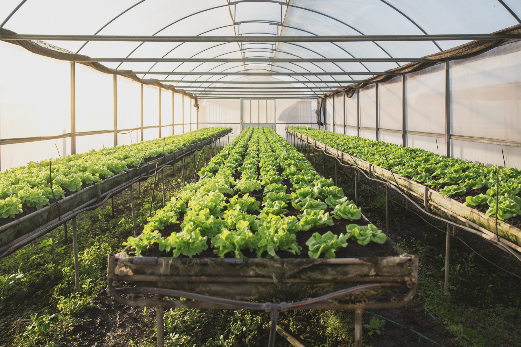 CLEAN FARM PREMIUM VEGETABLE FARM