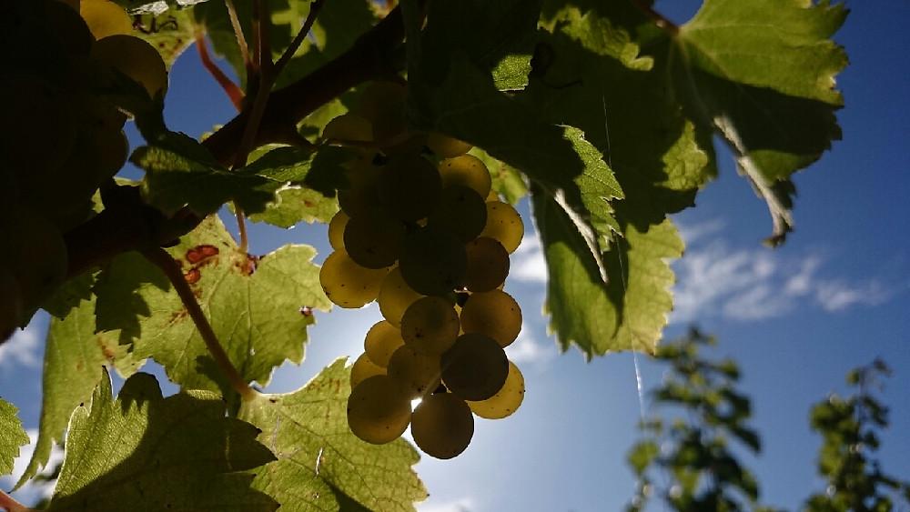 grappe vigne feuilles raisins soleil