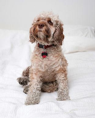 Cookapoo Hund