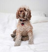 Cookapoo สุนัข