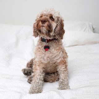 Cookapoo Dog