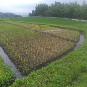 自然農田植え⑧ 完了まで