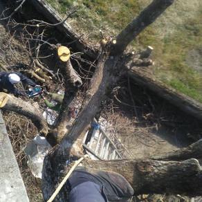 柿の木の伐採①