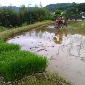 村の田んぼ仕事4
