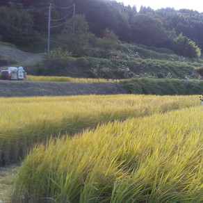 村の稲刈り