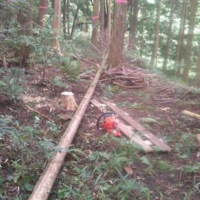 間伐ヒノキの伐採