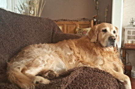 Chilled out Golden Retriever