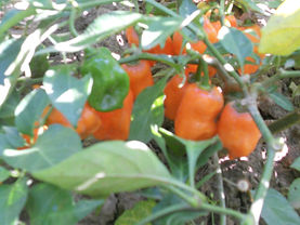 Organically grown Doc's peppers