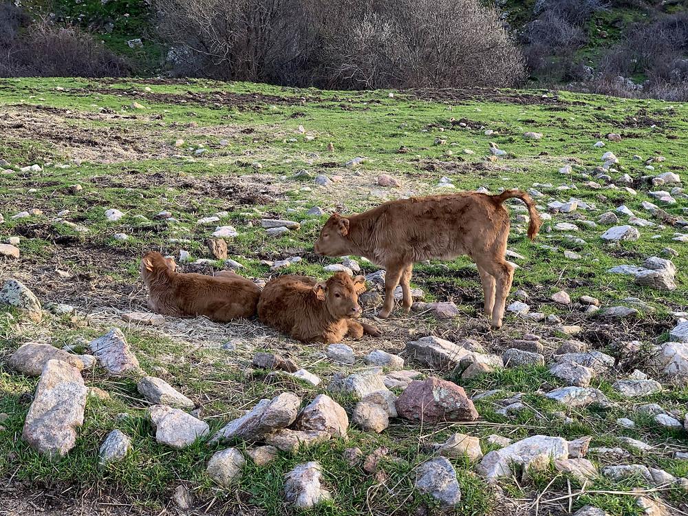 Vacas en la senda del Hornillo