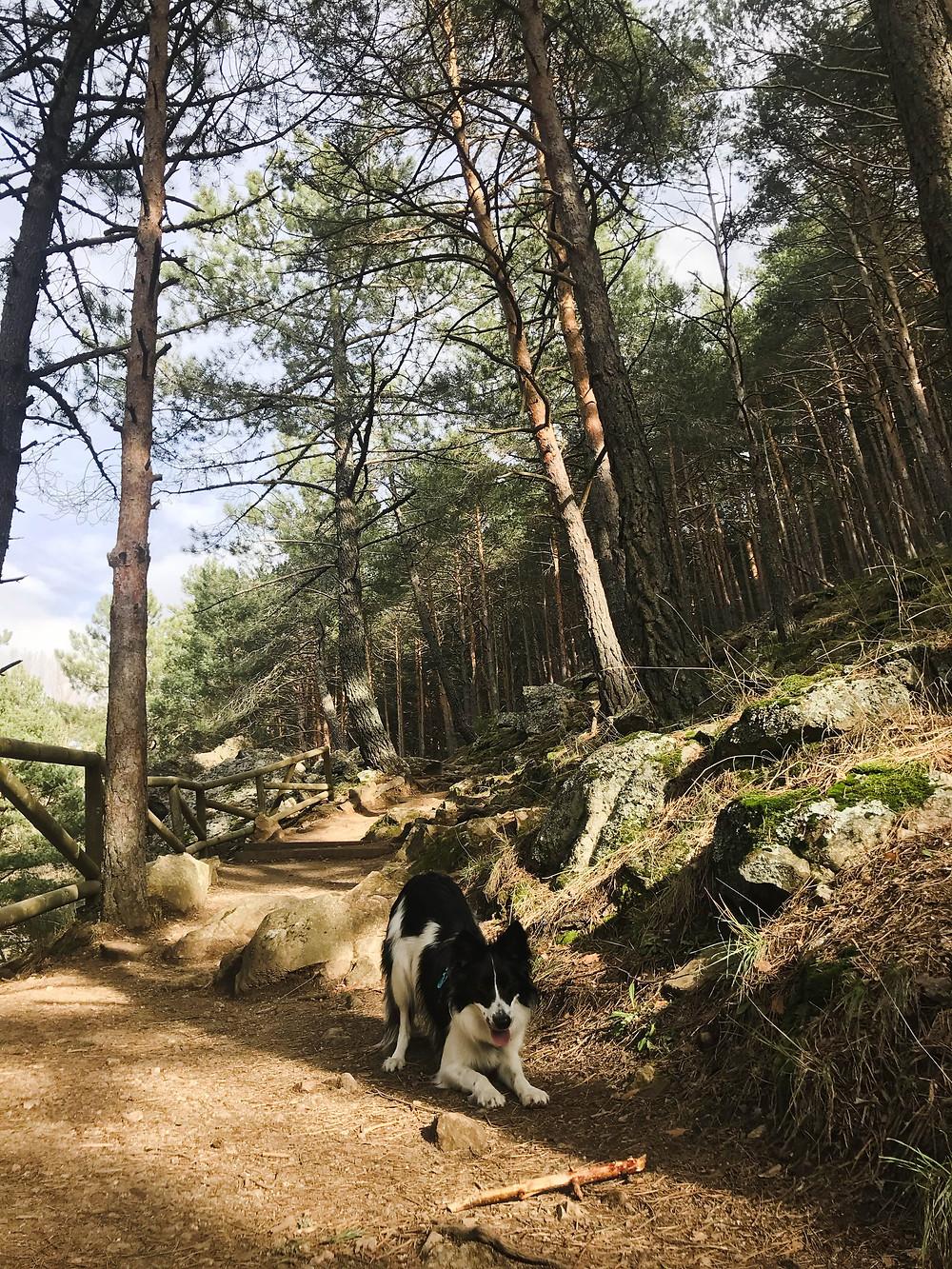Inicio de la ruta - Paseando entre pinos