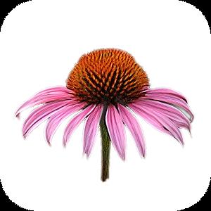 Echinacea Coneflower H-125