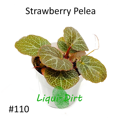 Strawberry Pelea (nonbearing)