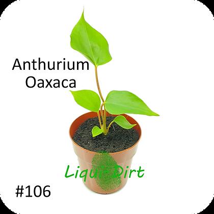 Anthurium Oaxaca (Deep Pink)