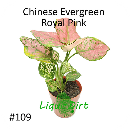 Chinese Evergreen (Royal Pink)