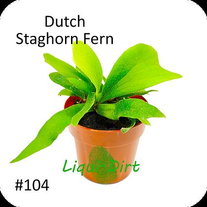Dutch Staghorn Fern