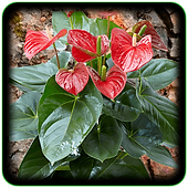 Anthurium Andraeanum (Red)AN900.png