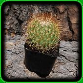 Ferocactus pilosus (Mexican Lime Cactus,