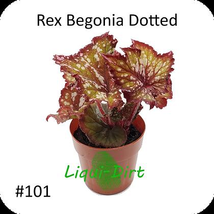 Rex Begonia Dotted