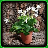 Oxalis triangularis ssp. papilionacea Fa