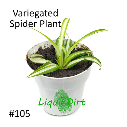 Spider Plant (Inverse)