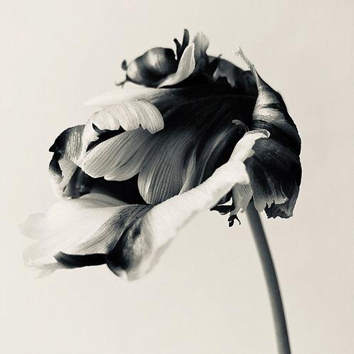 "Libby Ellis, ""Tulipa III | Flaming Parrot Tulip,"" 2020"
