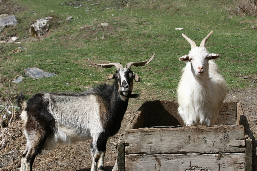 Goats in Svaneti