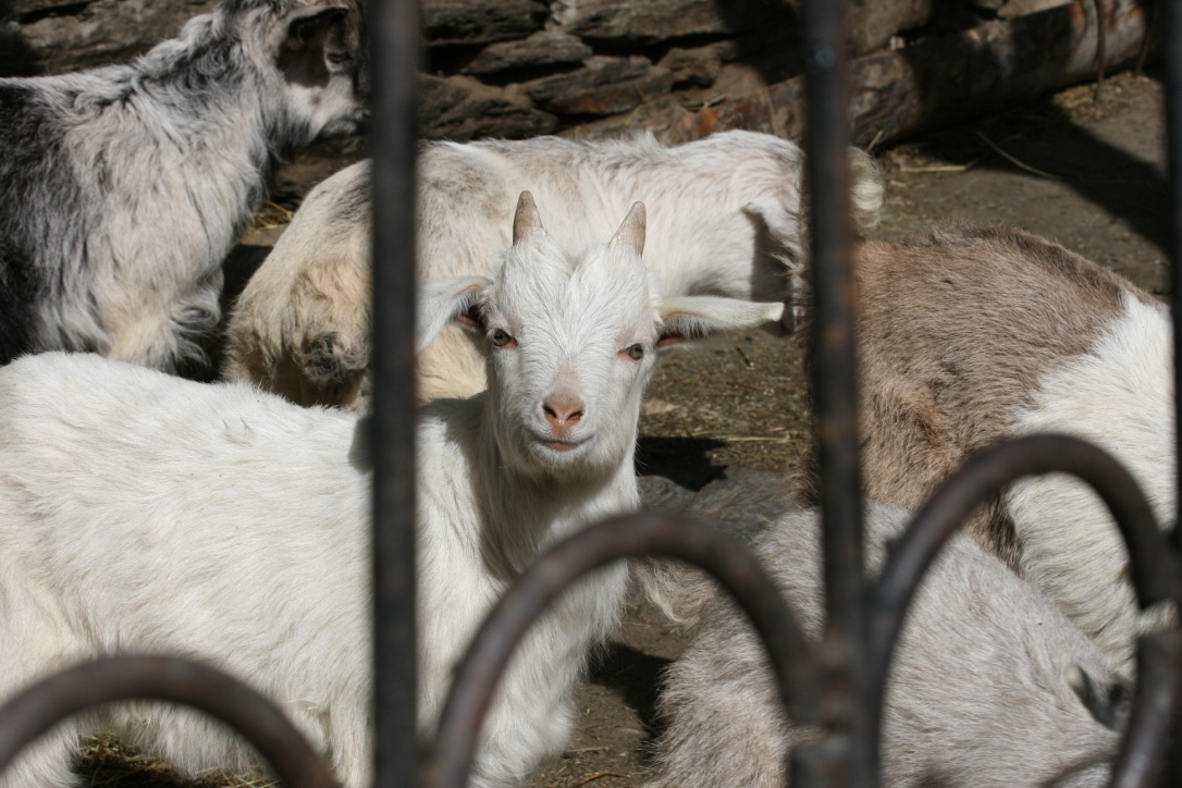 Happy Goat in Svaneti Region