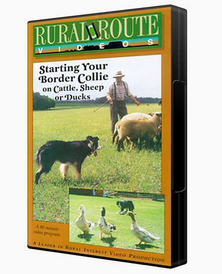 Starting Your Border Collie on Cattle, Sheep or Ducks