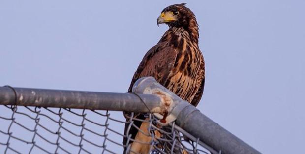 """Harris Hawk""__Saw this hawk chilling_ed"