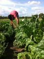 harvestcollards.jpg