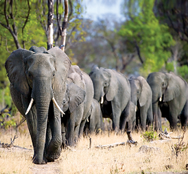 African Travel - Elephants.PNG