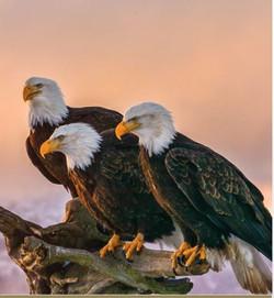 Eagles Alaska
