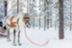 Reindeer in a winter forest in Finnish L