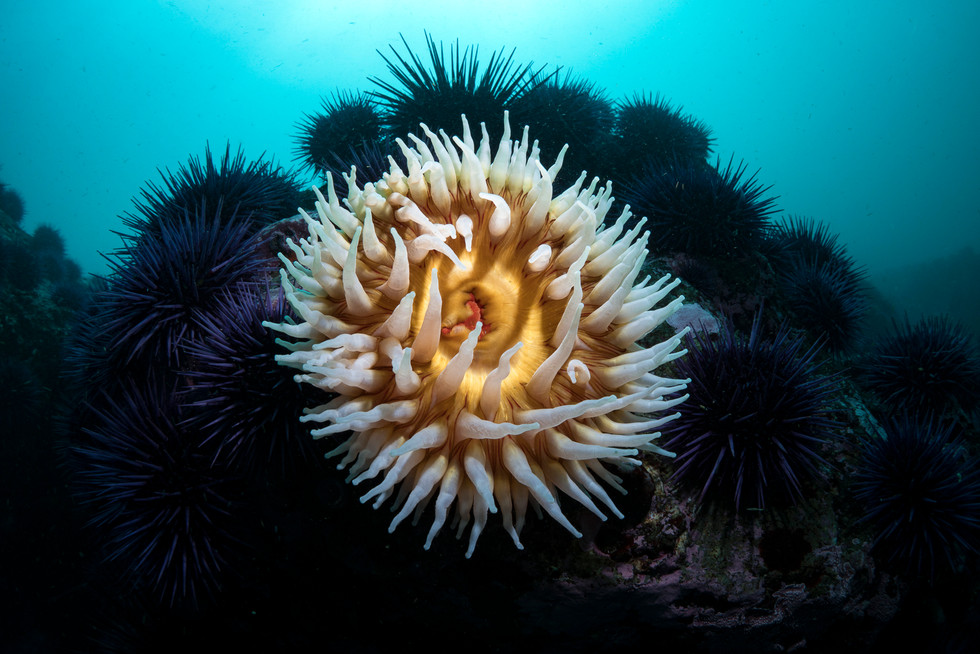 A Fish-Eating Anemone finds room to grow among a sea of Purple Sea Urchins.