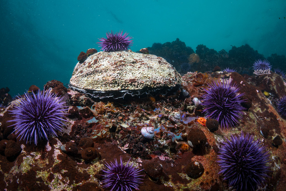 A starving Red Abalone searching for any bits of kelp to eat in an urchin barren off the Sonoma Coast.
