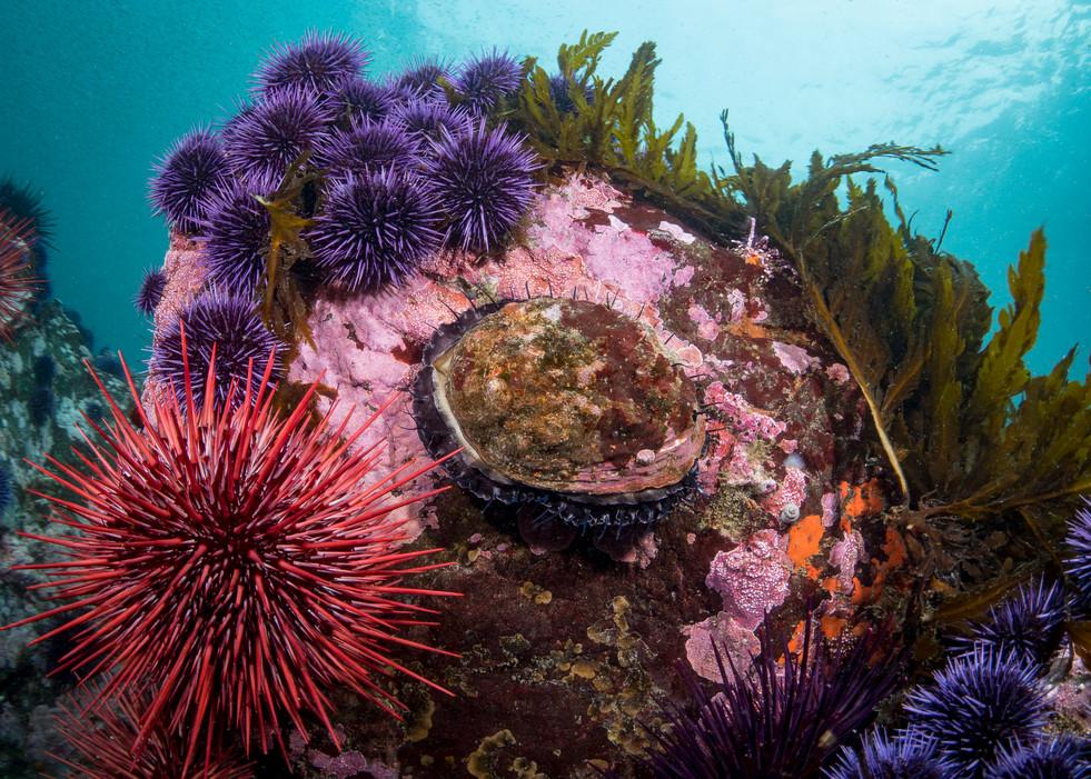 Kelp, Sea Urchins, and Abalone. A classic Mendocino Scene.
