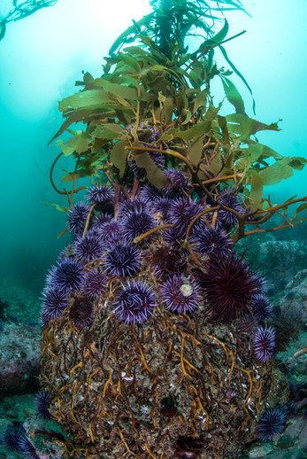 Purple Sea Urchins making their way up a holdfast of one of the last columns of Giant Kelp on this reef.