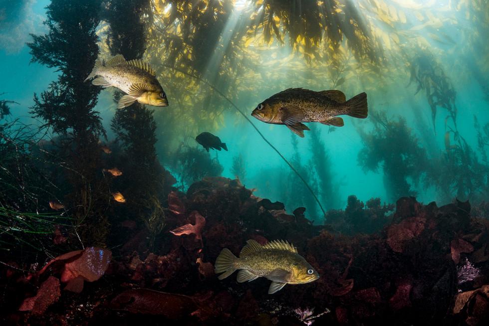 Kelp and Rockfish in Carmel, CA