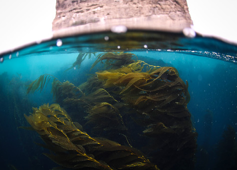 Giant Kelp in the current, Channel Islands, CA