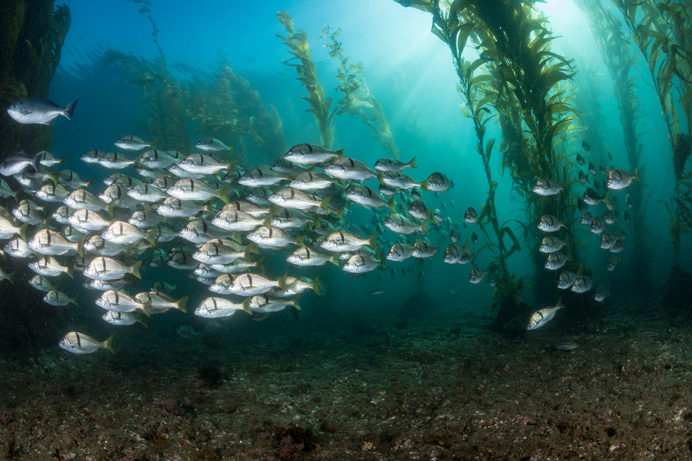 A school of Calfornia Sargo makes their way through a kelp forest off the coast of Southern California.