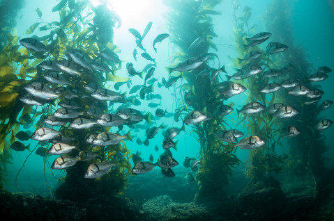 A school of Calfornia Sargo makes their way through a kelp forest off the coast of Southern California.