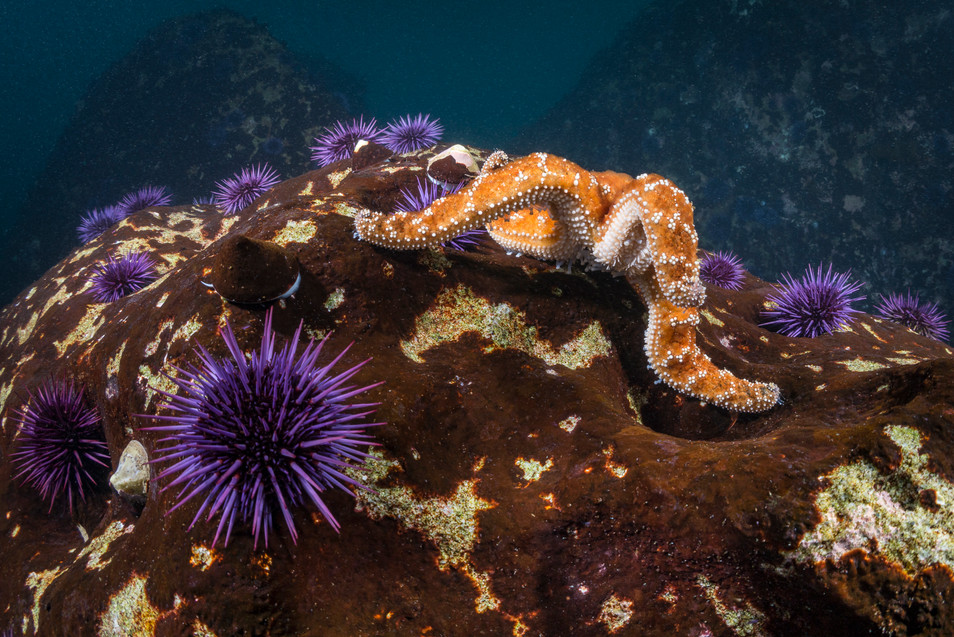 An Ochre Sea Star, one of the few predators with the ability to prey on Purple Sea Urchins.