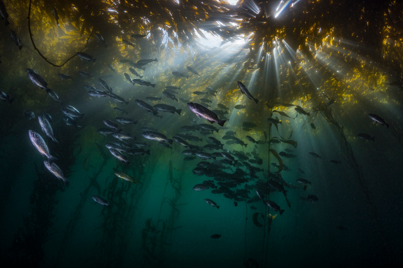 Blue Rockfish thriving under a thick canopy of healthy Giant Kelp off the coast of Carmel, CA