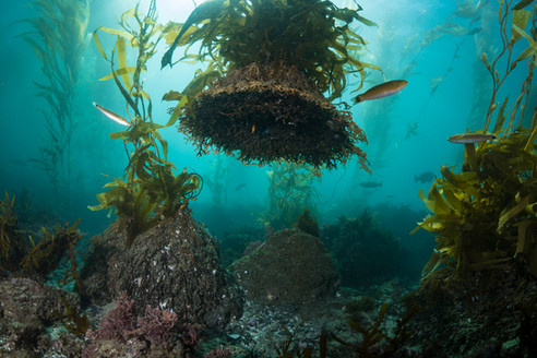 A detached holdfast of Giant Kelp in Southern California