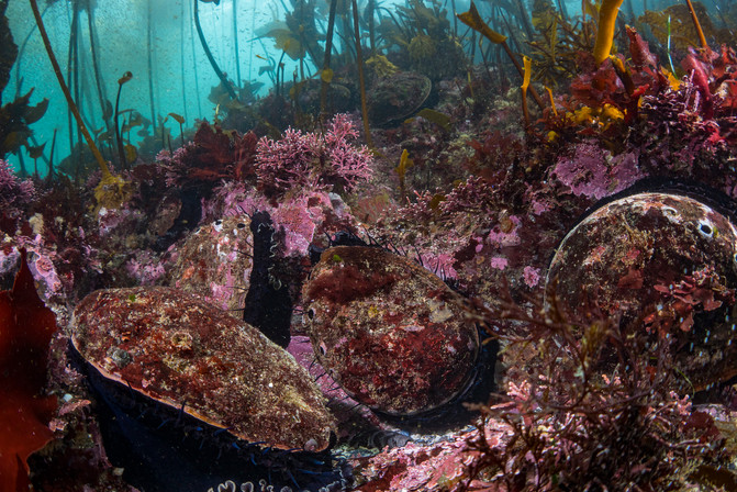 Red Abalone spread across a healthy Mendocino Reef