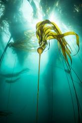 Bull Kelp off the coast of Big Sur, CA
