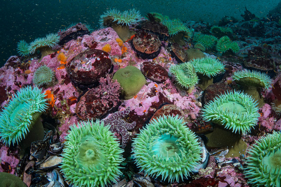 Colors of a healty reef off the coast of Mendocino, CA