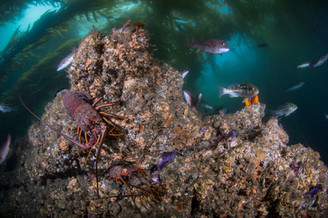 An example of some of the marine life that calls Southern California kelp forests home.